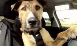 Descubra as semelhanças entre um humano de carro e um cão de trela capa